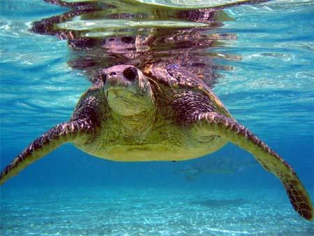 Акамас черепахи