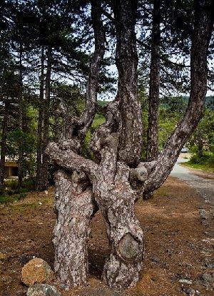 отель Беренгария дерево